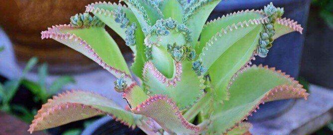 Bryophyllum natürliche Unterstützung bei Kinderwunsch