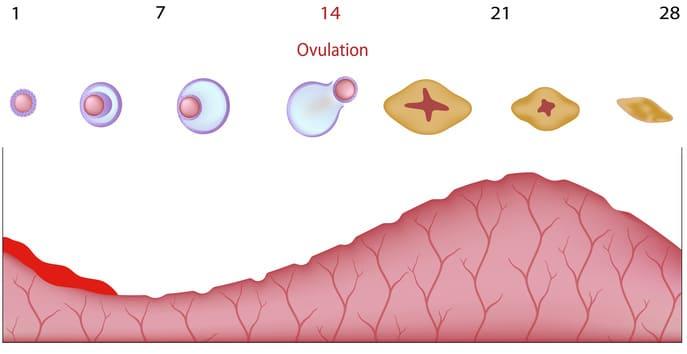Gebärmutterschleimhaut Tabelle